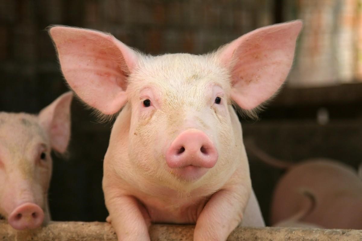 Column: Als een schuimspaan op een varken